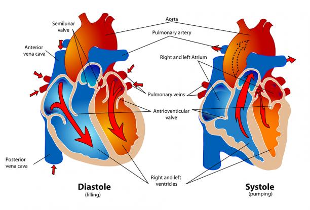 Maladies cardiovasculaires : Comment les prévenir ? 2