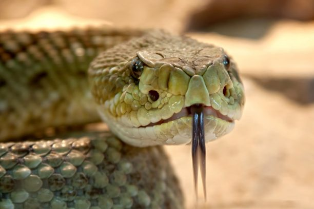Crèmes anti-rides au venin de serpent, effet anti-âge peau visage