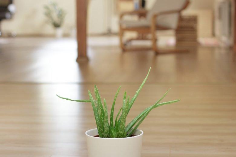 Aloe Vera, la plante anti-inflammatoire | Remède naturel 3