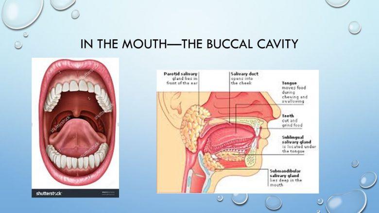 Anatomie et rôle de la cavité buccale 1