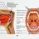 Anatomie et rôle de la cavité buccale 3