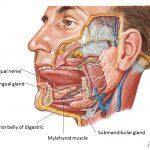 Anatomie et rôle de la cavité buccale 4