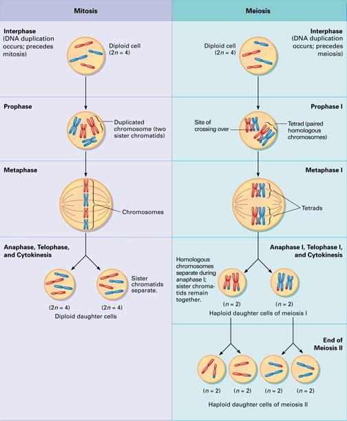 quest-ce-que-la-division-cellulaire