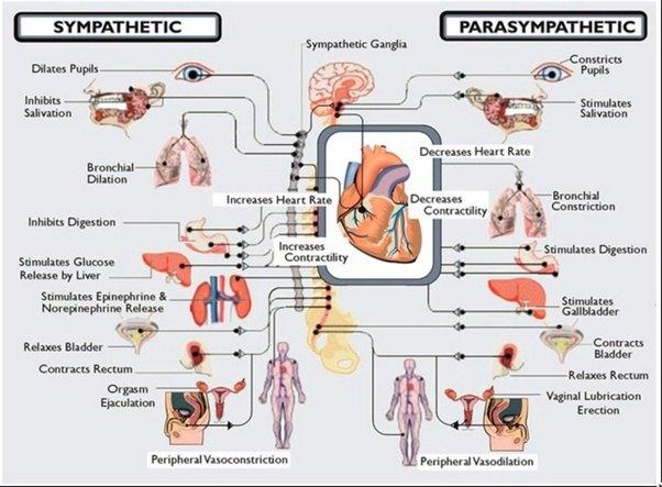 quest-ce-que-le-systeme-nerveux-parasympathique