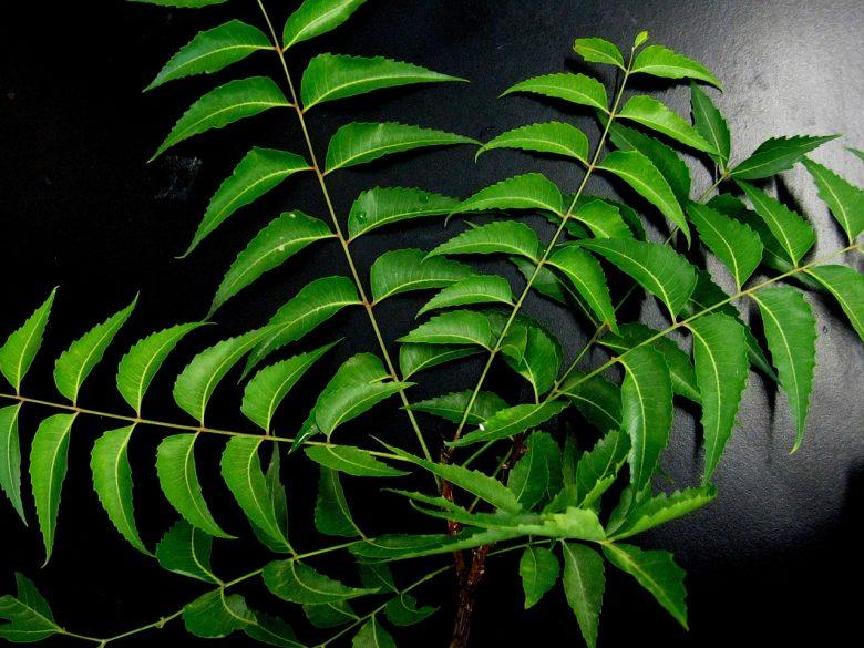 Les propriétés médicinales du neem 1