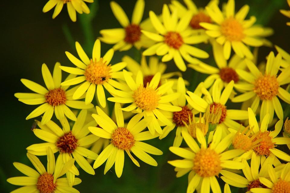 L'ambroisie et son pollen allergisant