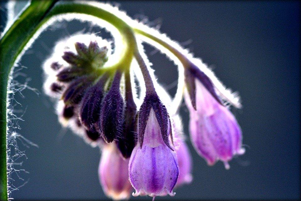Consoude : Comment utiliser cette plante riche en allantoïne ?