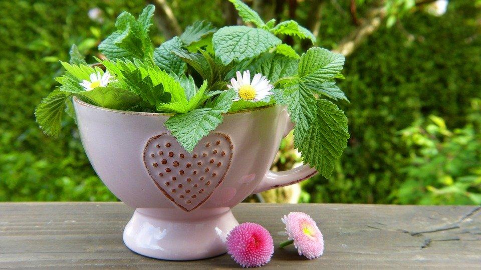 Les plantes anti infectieuses : les plantes sudorifiques